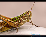 Title: Large Marsh Grasshopper