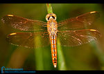 Title: Red Veined Darter