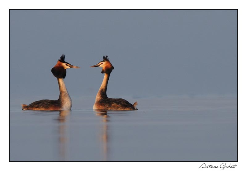 Great Crested Grebe at sunset