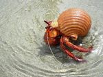 Title: Red Hermit Crab (Dardanus megistos)