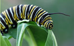 Title: Monarch CaterpillarCanon 450D