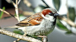 Title: House Sparrow