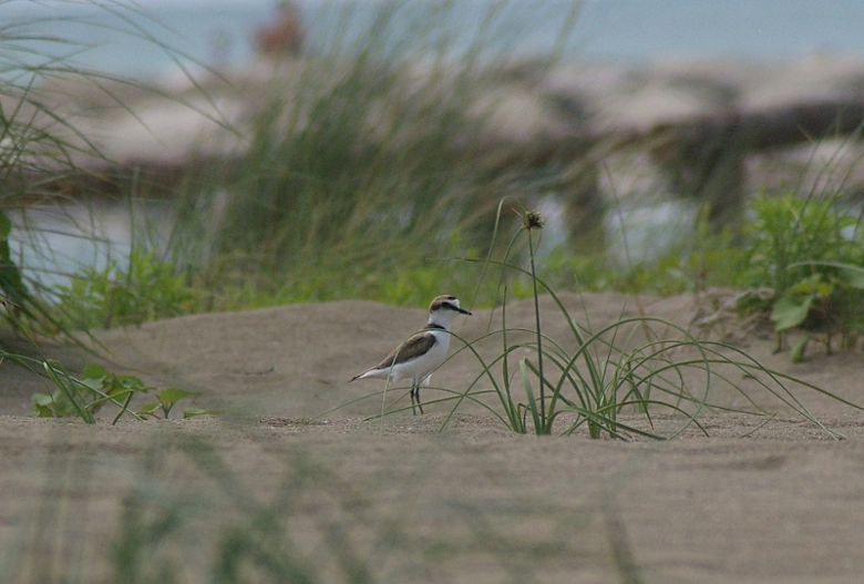 Sea Plover in The Dunes