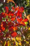 Title: Herbstfeuer (Cotinus)Pentax K100D