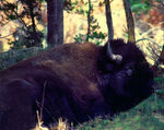 Title: American bison