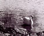Title: Swan on the Vlatva