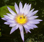 Title: Water lily and friends