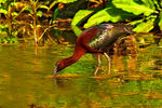 Title: Glossy ibis in stream