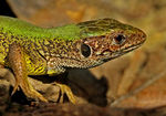 Title: European green lizard