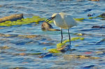 Title: Little egret in sea