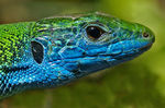 Title: European Green Lizard's head