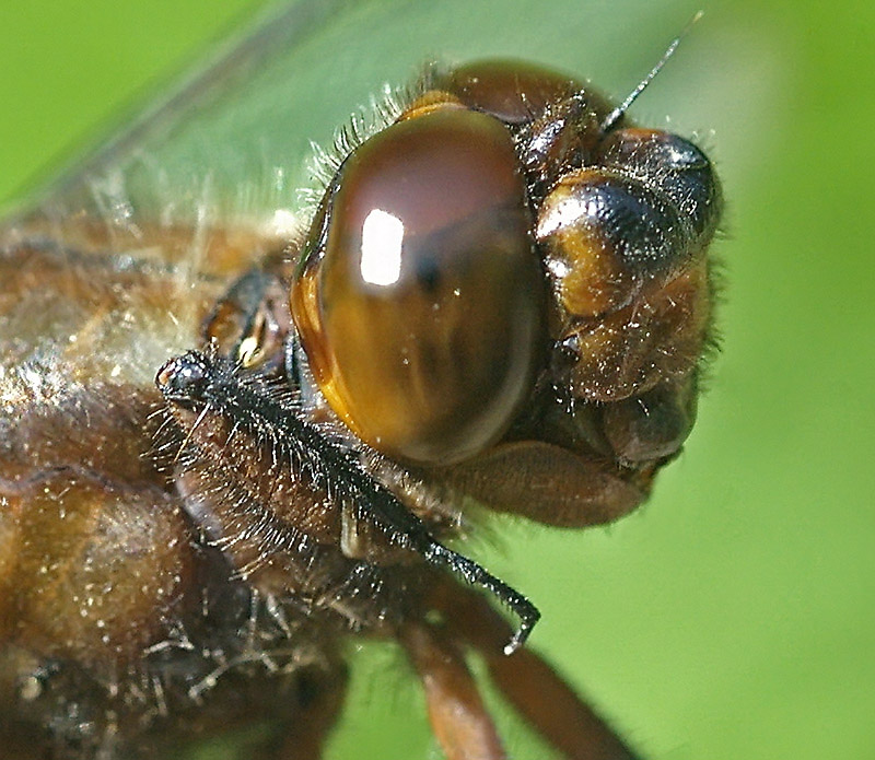 Broad-bodied Chaser's portrait