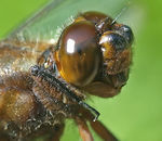 Title: Broad-bodied Chaser's portrait