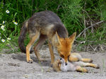 Title: Mother fox and cub