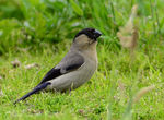 Title: azores bullfinch