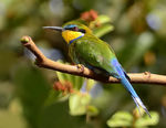 Title: swallow-tailed bee-eater