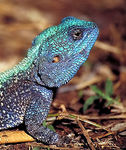 Title: Blue-headed tree agama