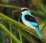 Title: Blue-breasted Kingfisher