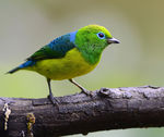 Title: Blue-naped Chlorophonia