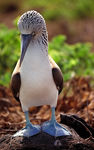 Title: Bluefooted booby