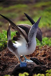 Title: blue-footed booby