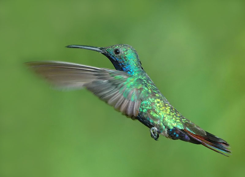 copper-rumped hummingbird?
