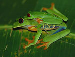 Title: red eyed tree frog