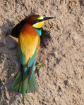 Title: Bee-eater