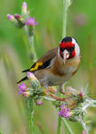 Title: Goldfinch eating
