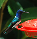 Title: White-necked Jacobin Camera: Nikon D80