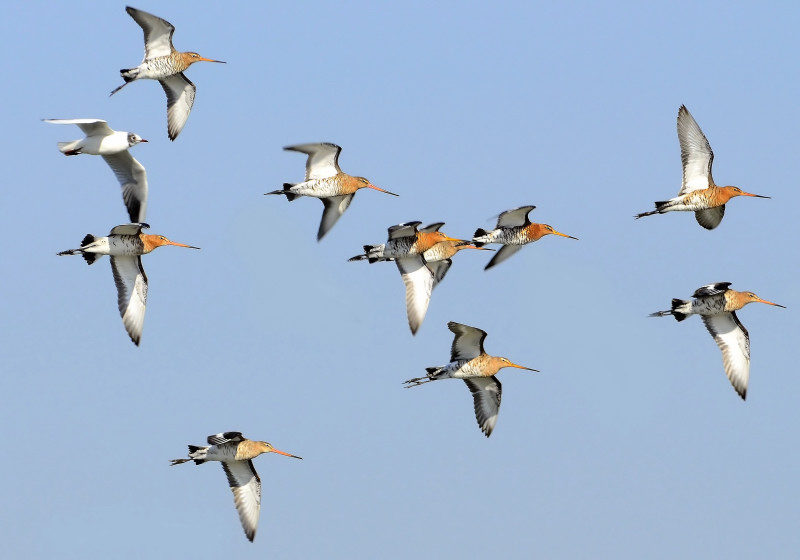 10 godwits and a gull