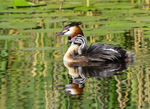 Title: The Great Crested Grebe with young