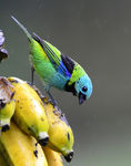 Title: Green-headed Tanager in the rain