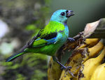Title: Green-Headed Tanager