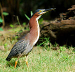 Title: Green heron male