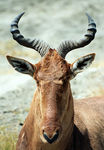 Title: Red Hartebeest