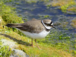 Title: Little ringed plover