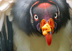 Title: Number 400: the King Vulture