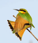 Title: Stretching bee-eater
