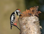 Title: Middle spotted woodpecker