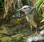 Title: Black crowned night heron