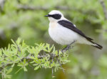 Title: Eastern Black- eared WheatearNikon D7100