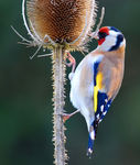 Title: goldfinch eatingNikon D80