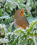 Title: icecold robin