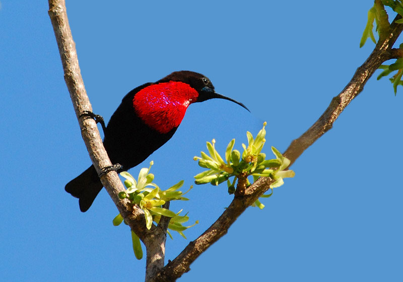 Scarlet chested sunbird
