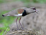 Title: Nr. 500: Southern Lapwing