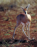 Title: another steenbok