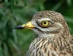 Title: Stone-Curlew