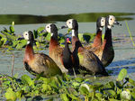 Title: White faced whisling ducks and a wattled