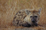 Title: young hyena